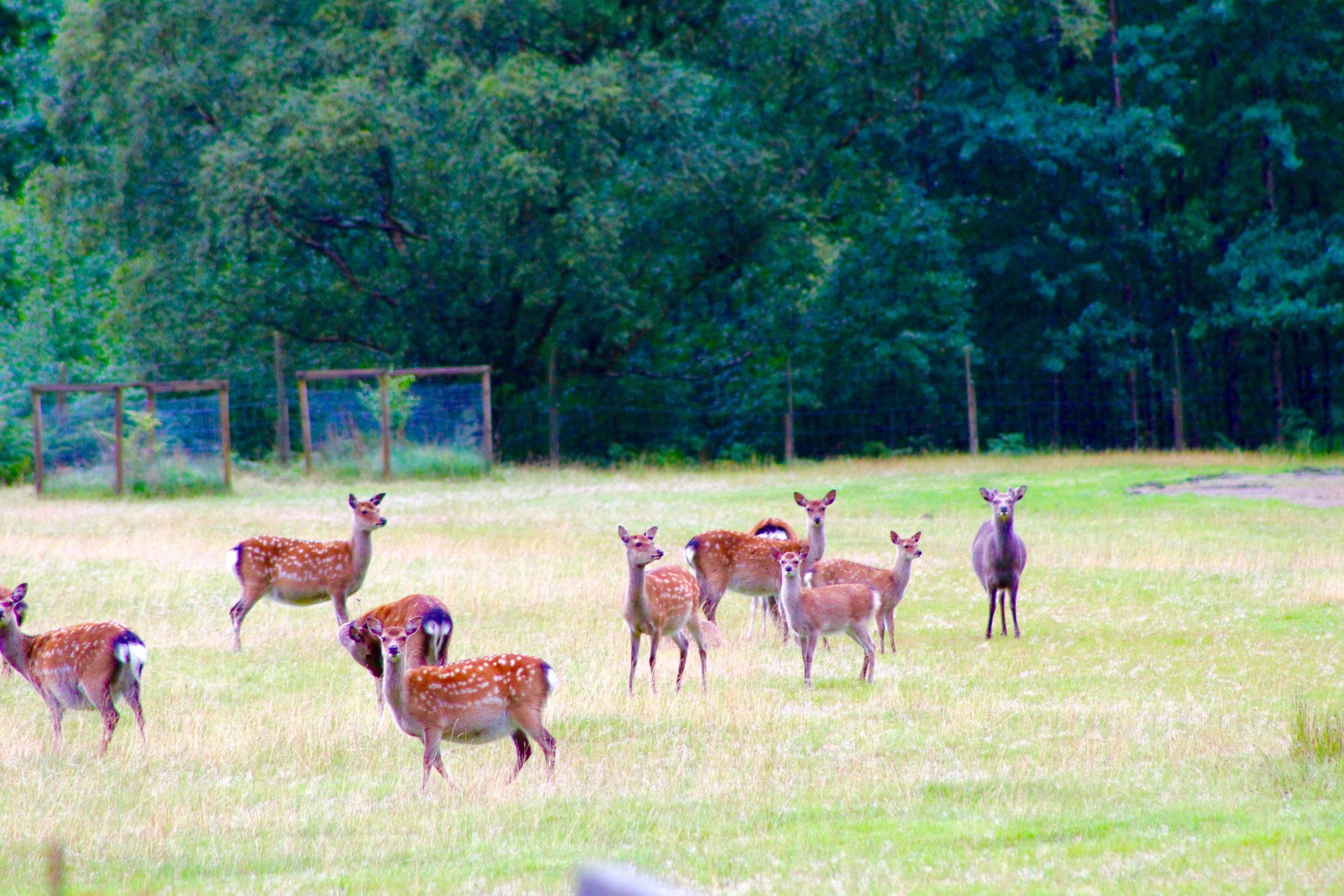 Wild deer everywhere