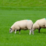 The sheep on russborough Estate